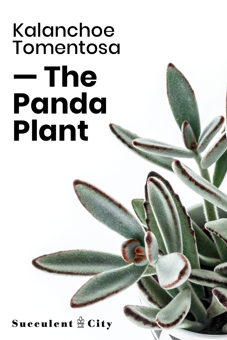 Kalanchoe Tomentosa— the Panda Plant or Pussy Ears
