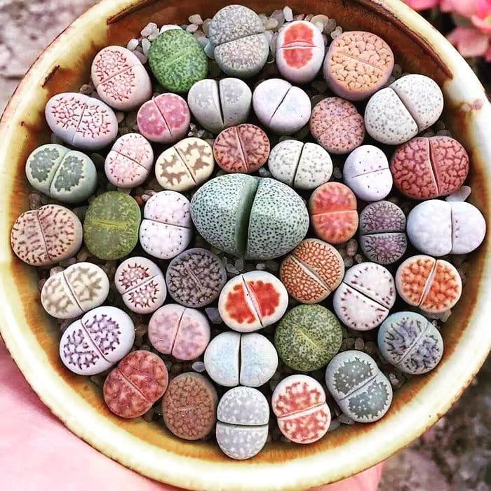 Living stone lithops sucuclent plants