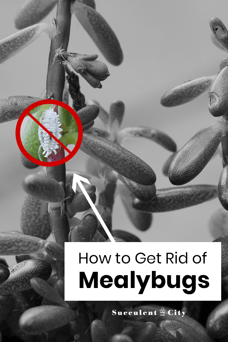 How to Get Rid of Mealybugs From Your Succulents