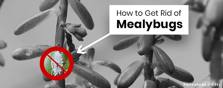 How to get rid of Mealybugs on Succulents