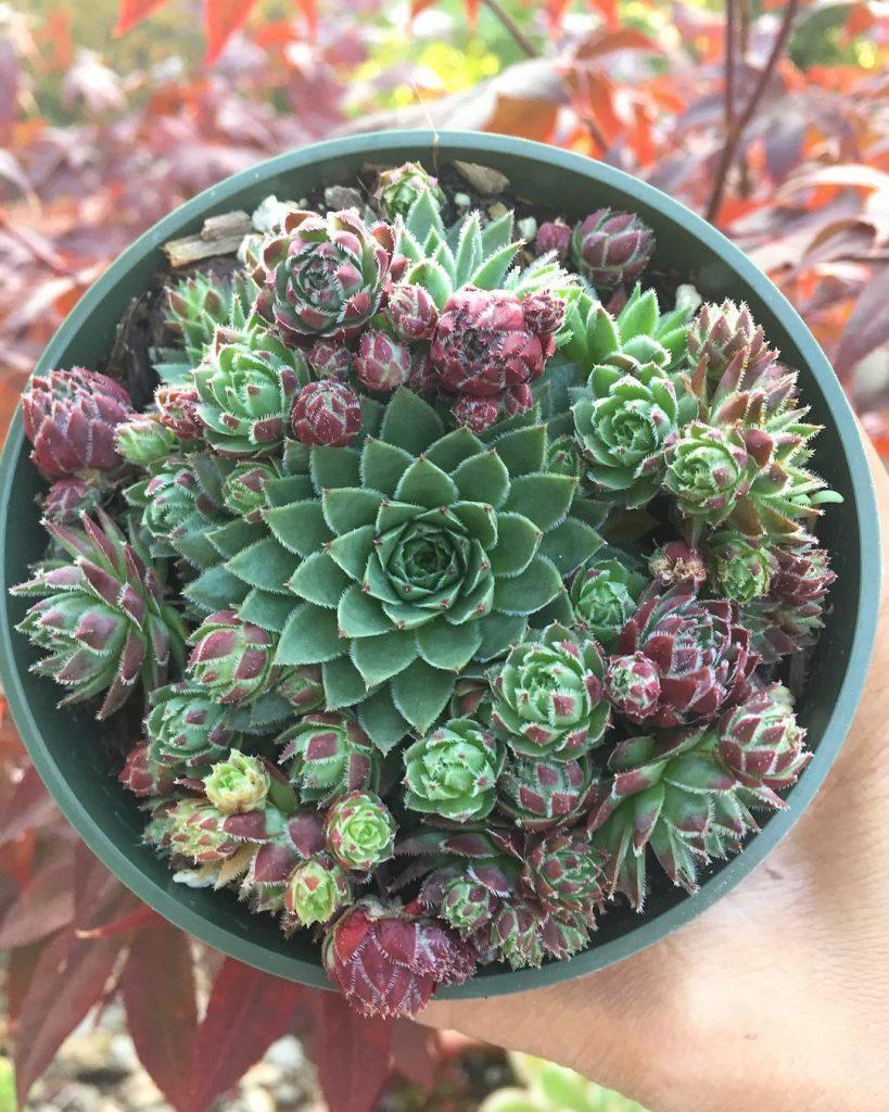 Monocarpic succulents sempervivums