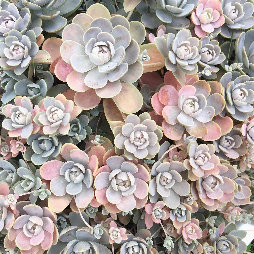 Monocarpic succulent plants flowering