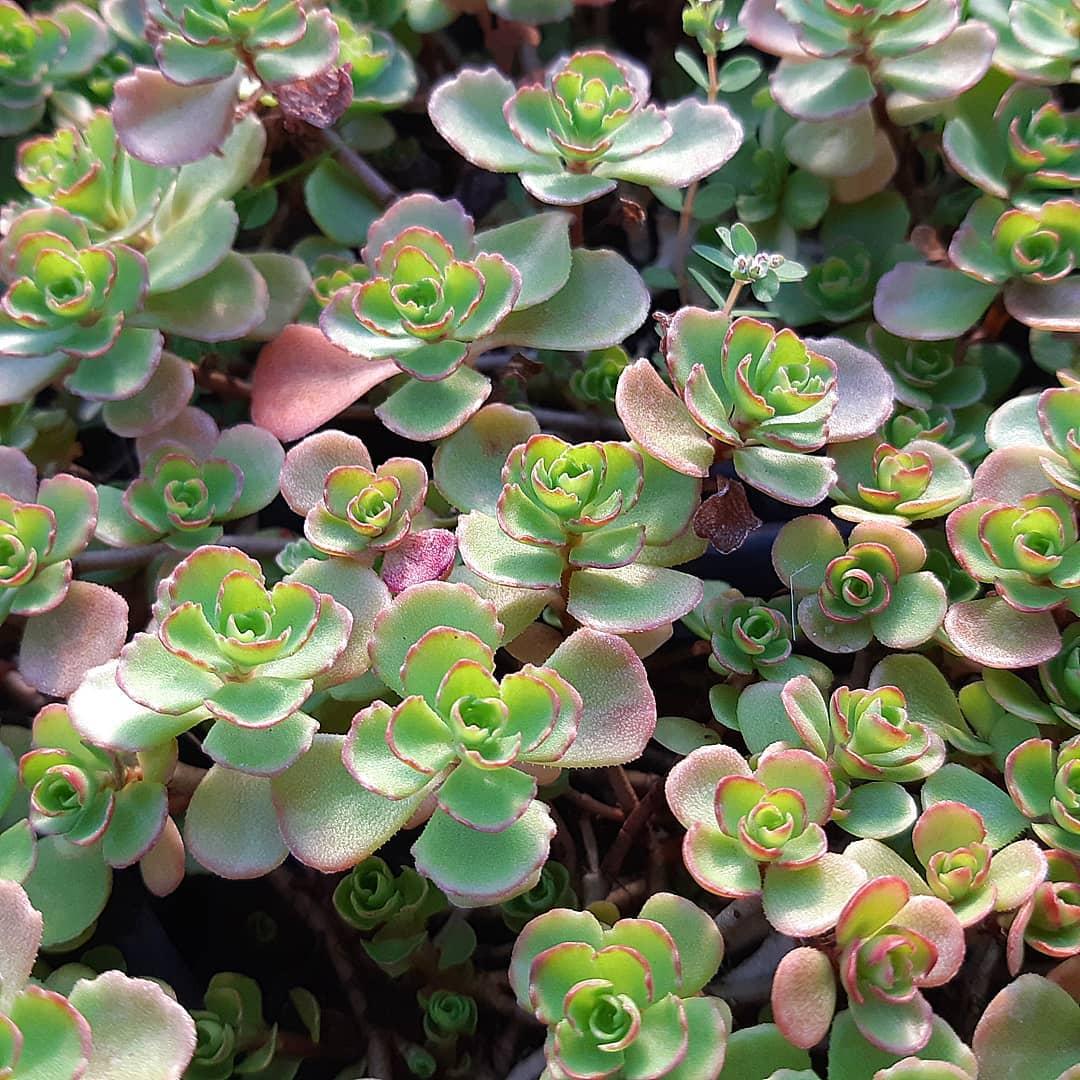 Sedum Spurium 'Roseum' Succulent Plant