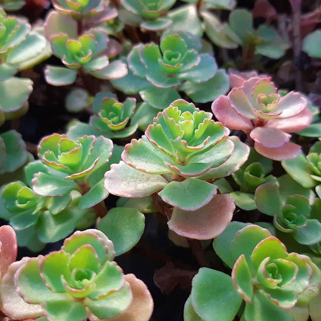 Sedum spurium succulent plant roseum