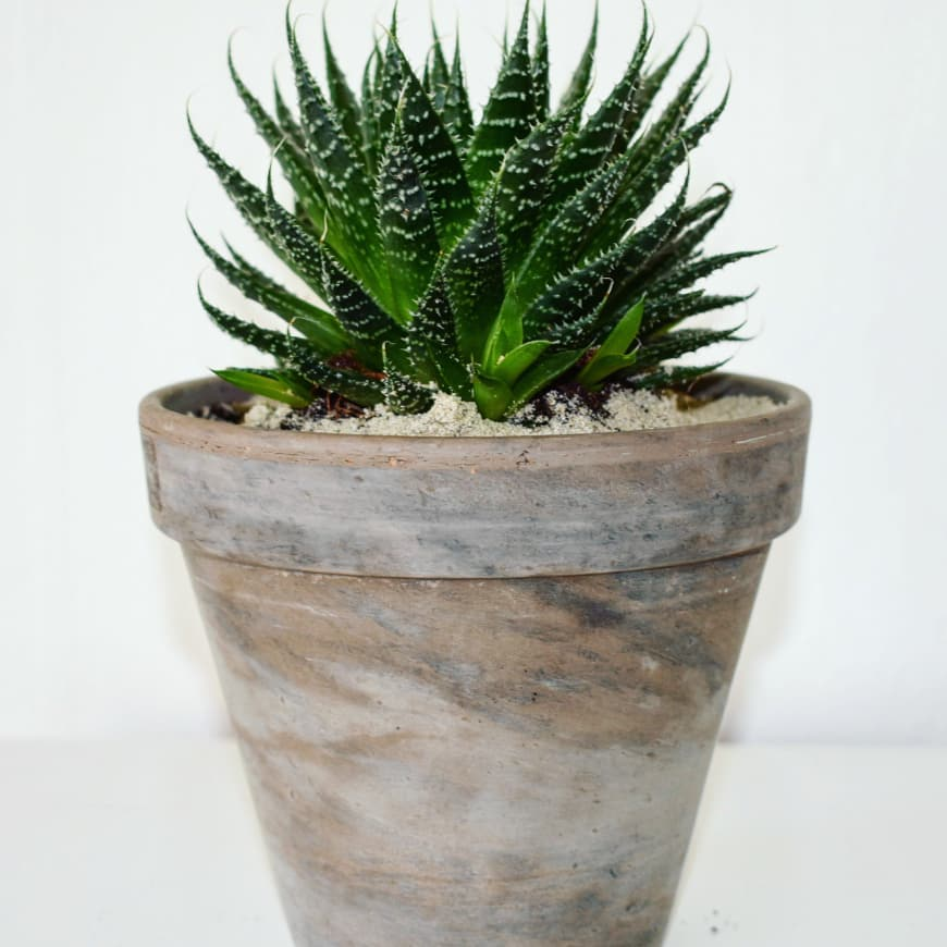 Aloe aristata succulent plant in ceramic planter