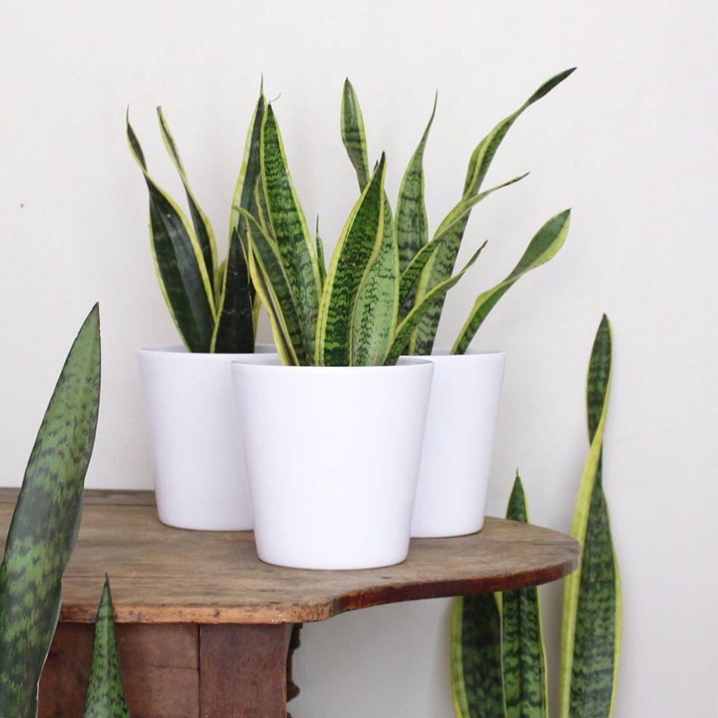 snake plant pots