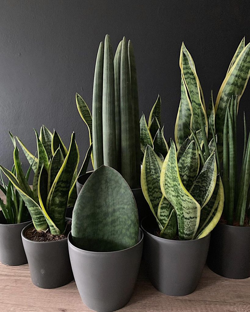 Snake plants in modern planters