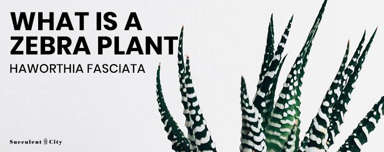 What is a Zebra Plant Haworthia Fasciata