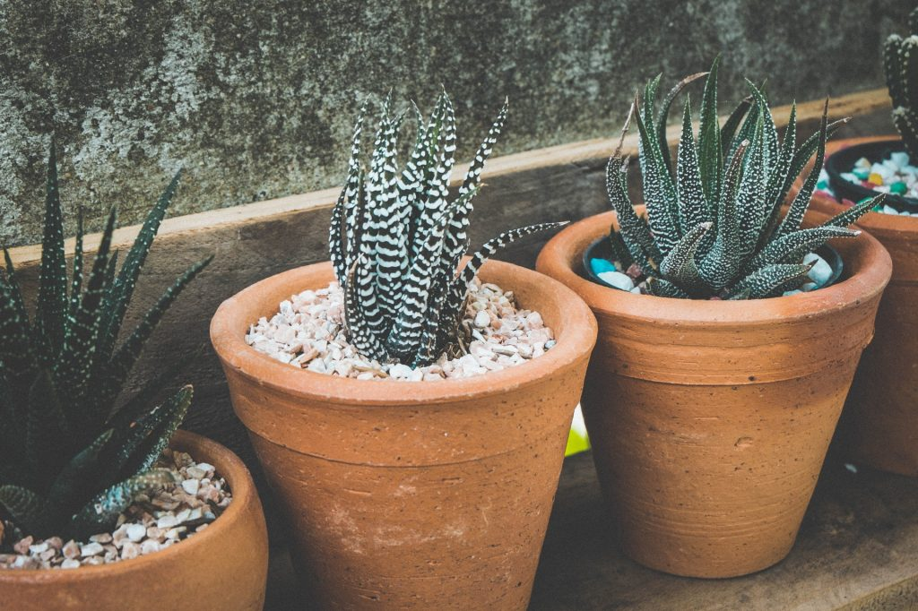 Where Do Most Succulents Come From?