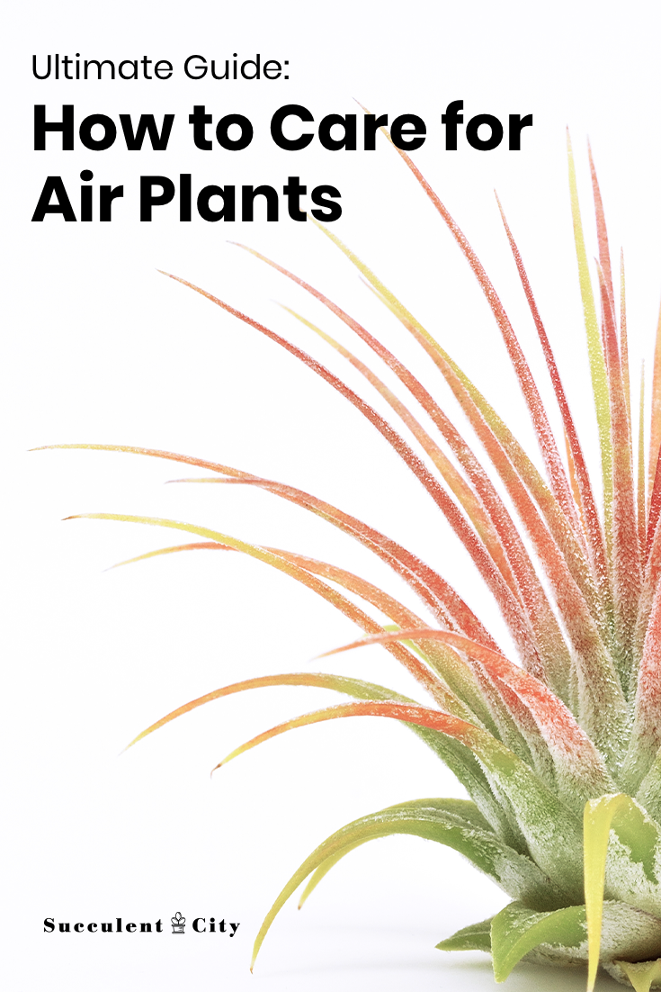 Your Ultimate Guide on How to Care for Air Plants