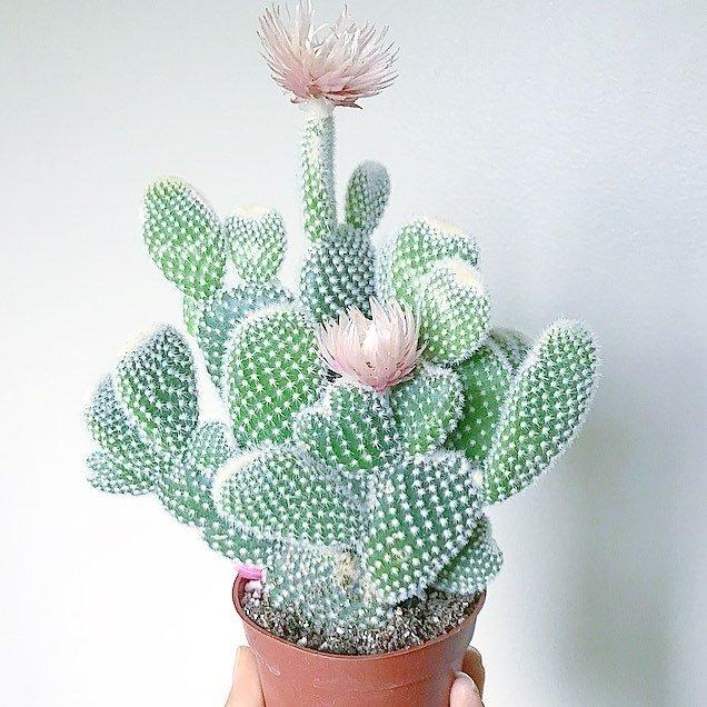 Angel Wings Cactus Opuntia Albispina