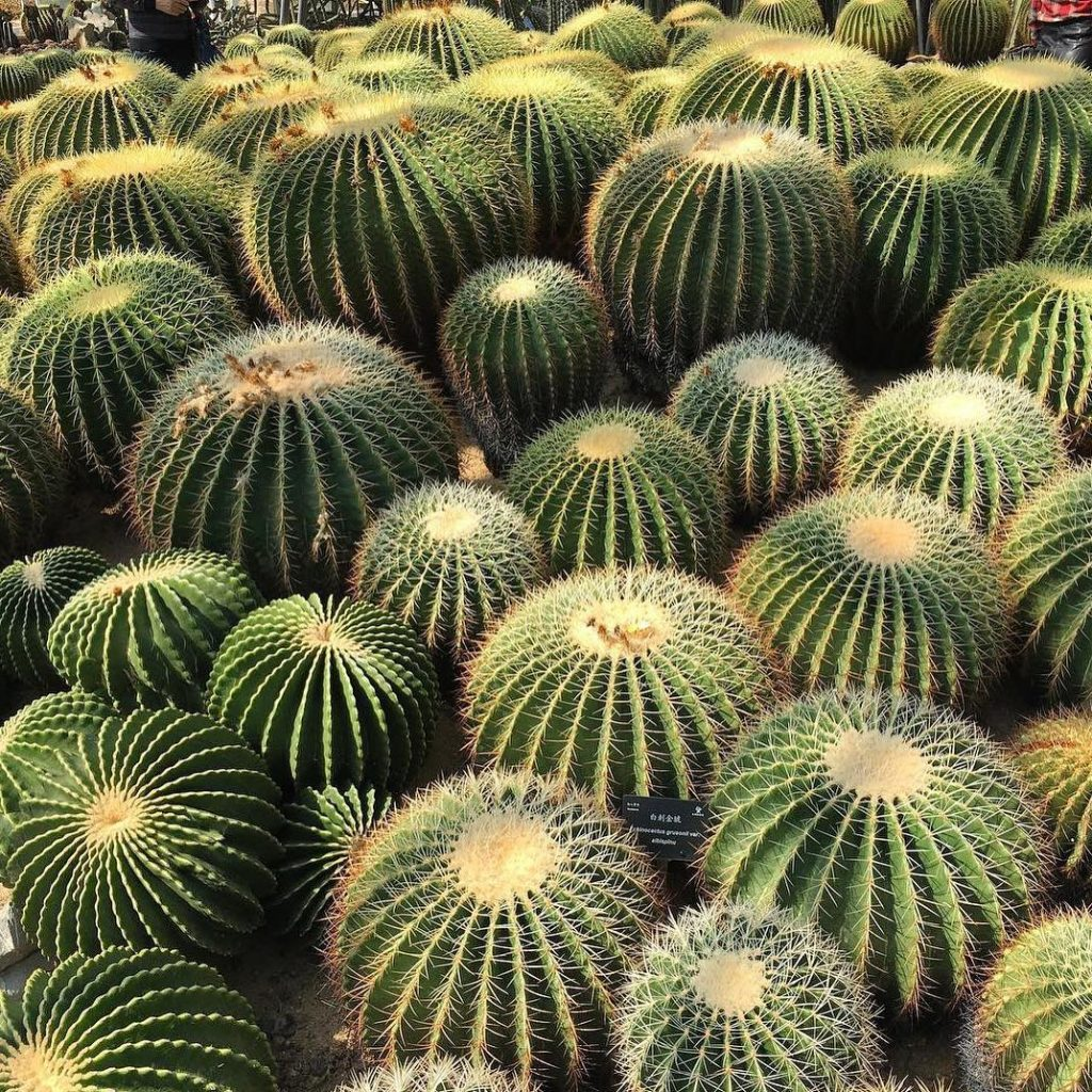 Barrel Cactus Ferrocactus Species