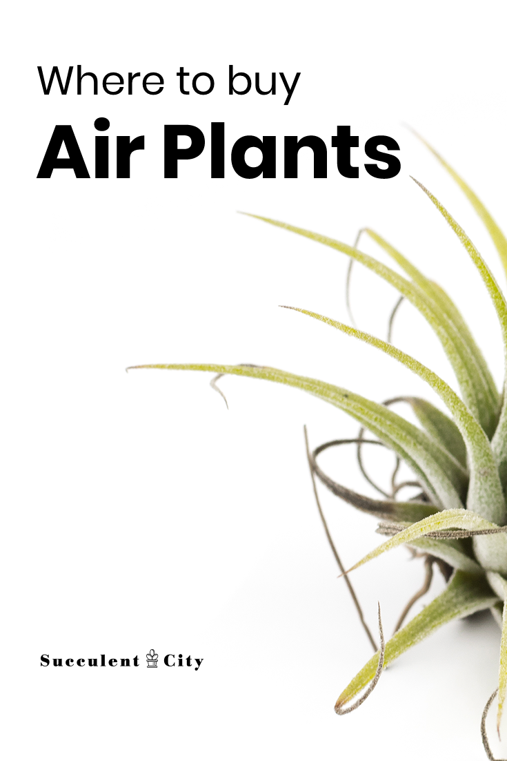 Where to Buy Air Plants; Both Online And Offline Joints/Buyers Reviews