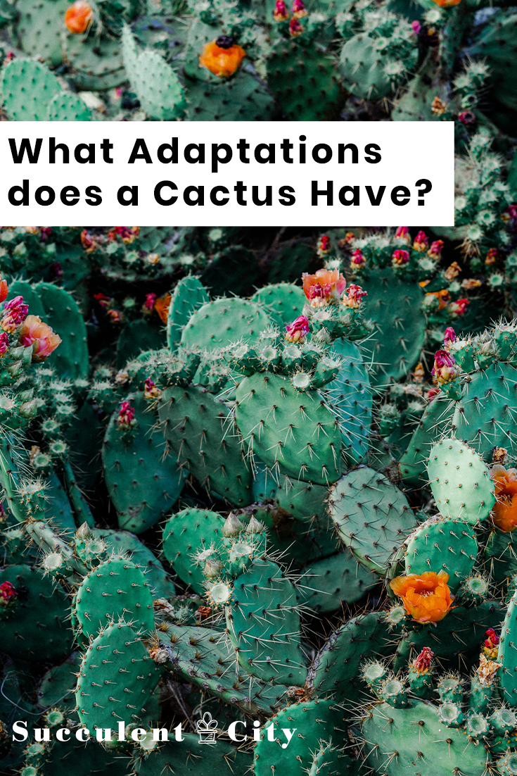 What Adaptations Does a Cactus Plant Have?