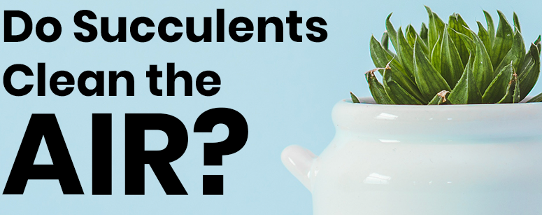 Do Succulents Clean the Air?