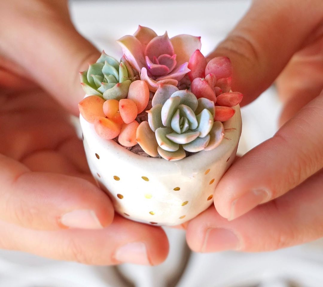Hard vs soft succulent plants