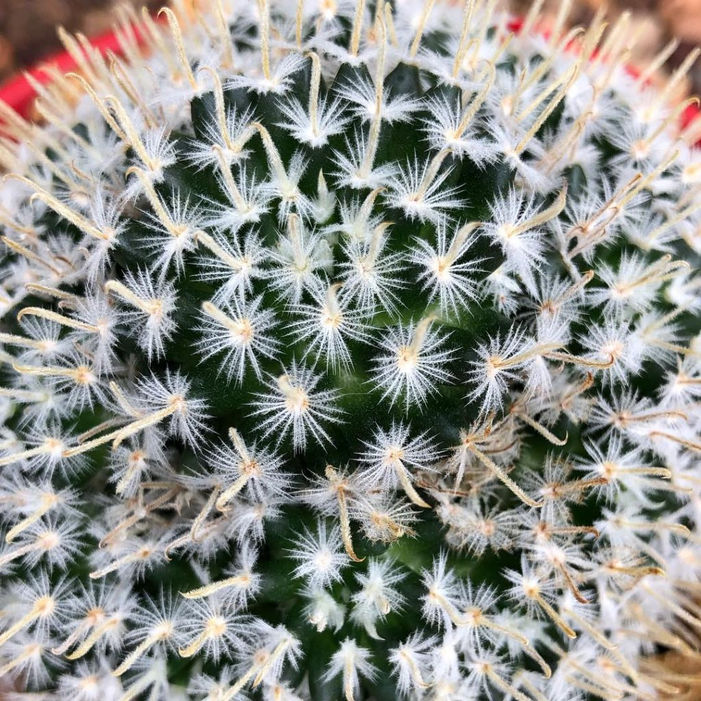 Pin cushion cactus mammillaris