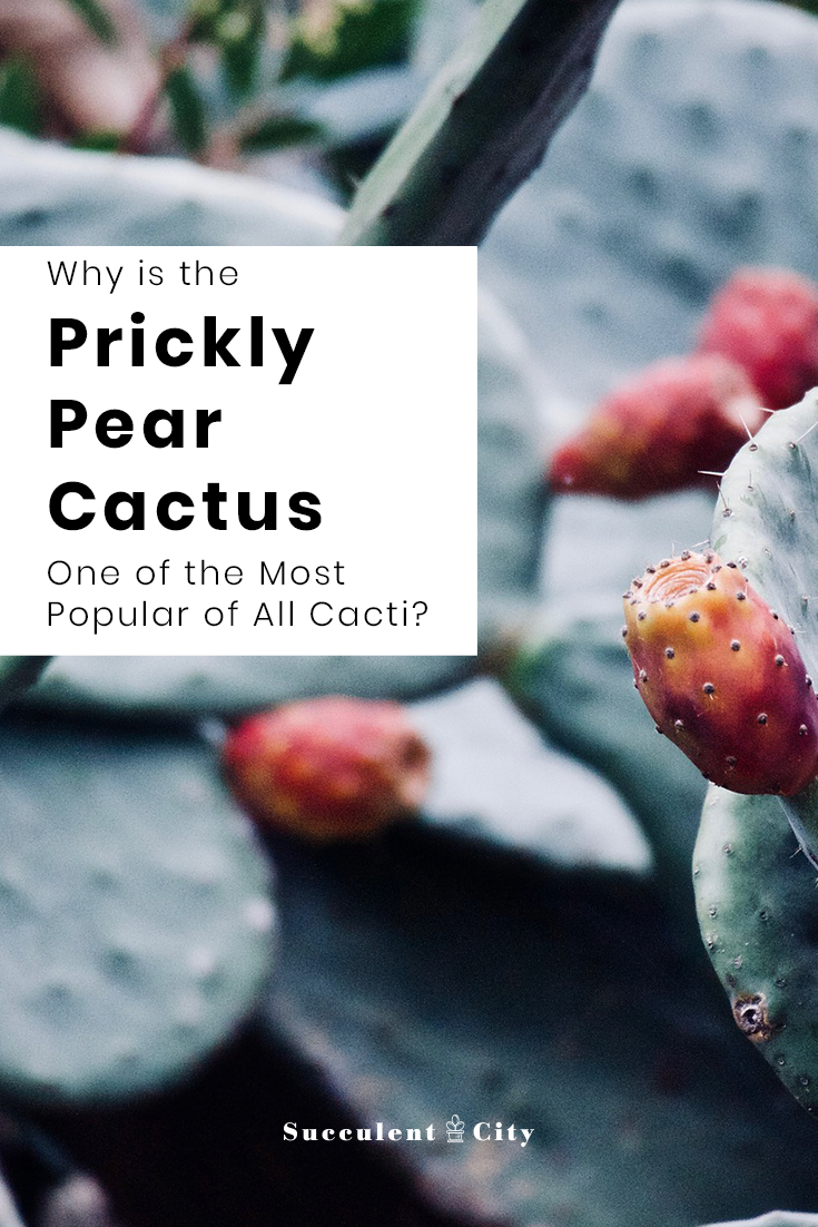 Why is the Prickly Pear Cactus One of the Most Popular Cacti?