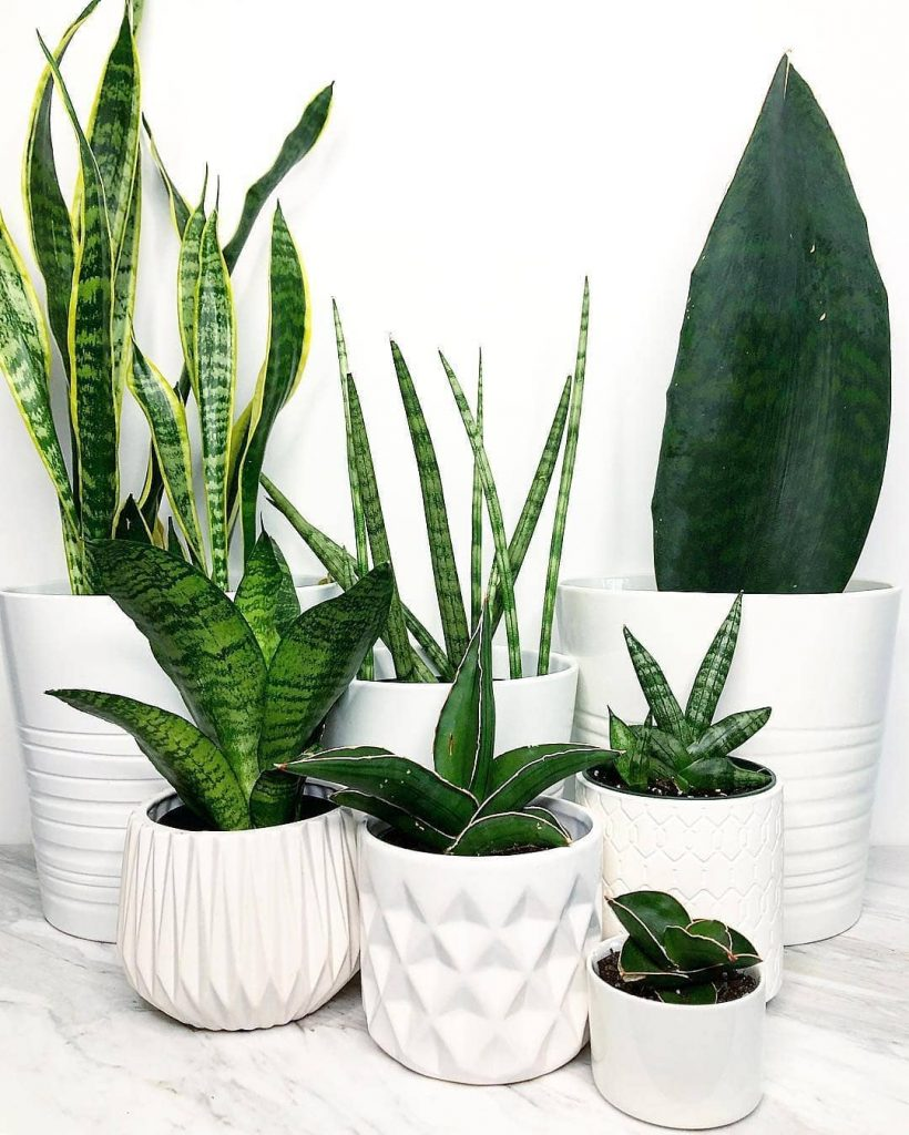 Snake plants purifying the air