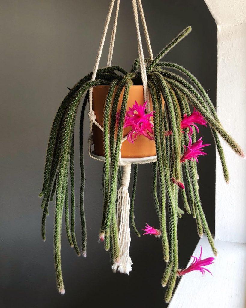 Rat Tail Cactus— Aporocactus Flagelliformis