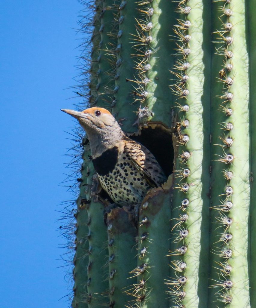 Saguaro Cactus— Carnegiea Gigantean