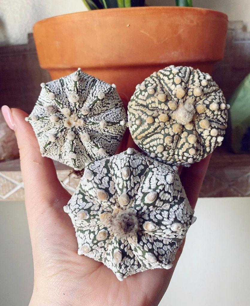 Star cactus succulent