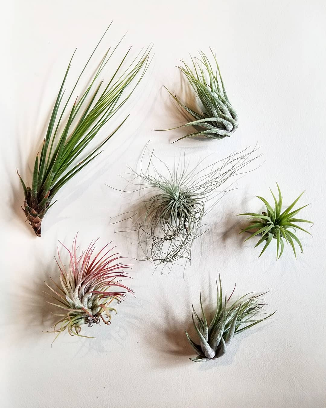 Ultimate guide in taking care of air plants at home