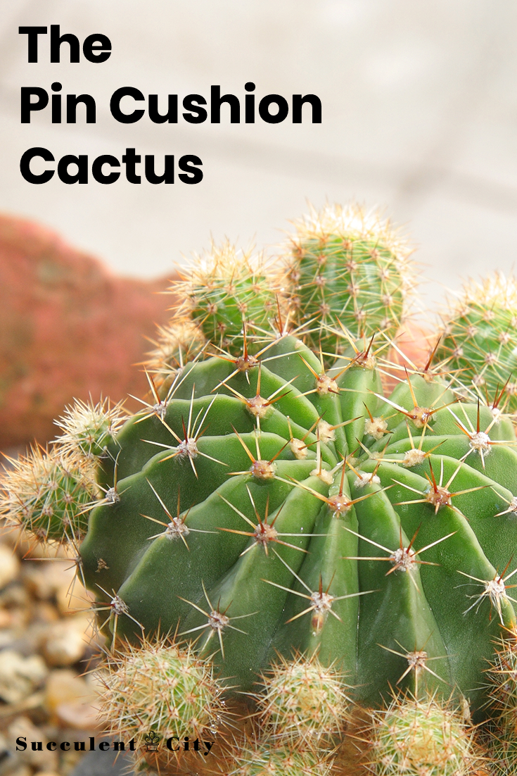 Mammillaria— The Pincushion Cactus, All About It