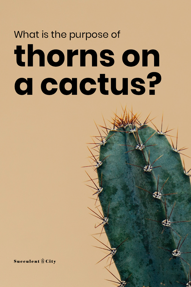What is the Purpose of Thorns on a Cactus Plant?