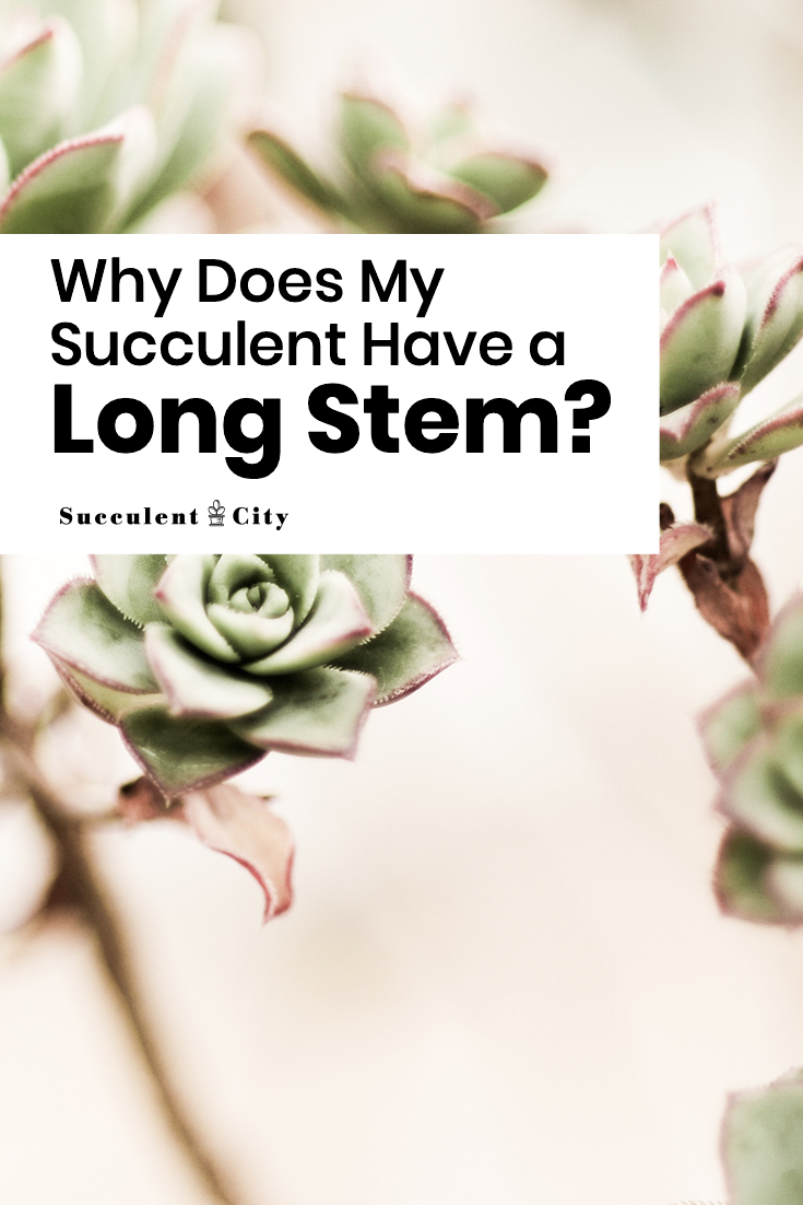 How To Fix Succulent With Long Stem