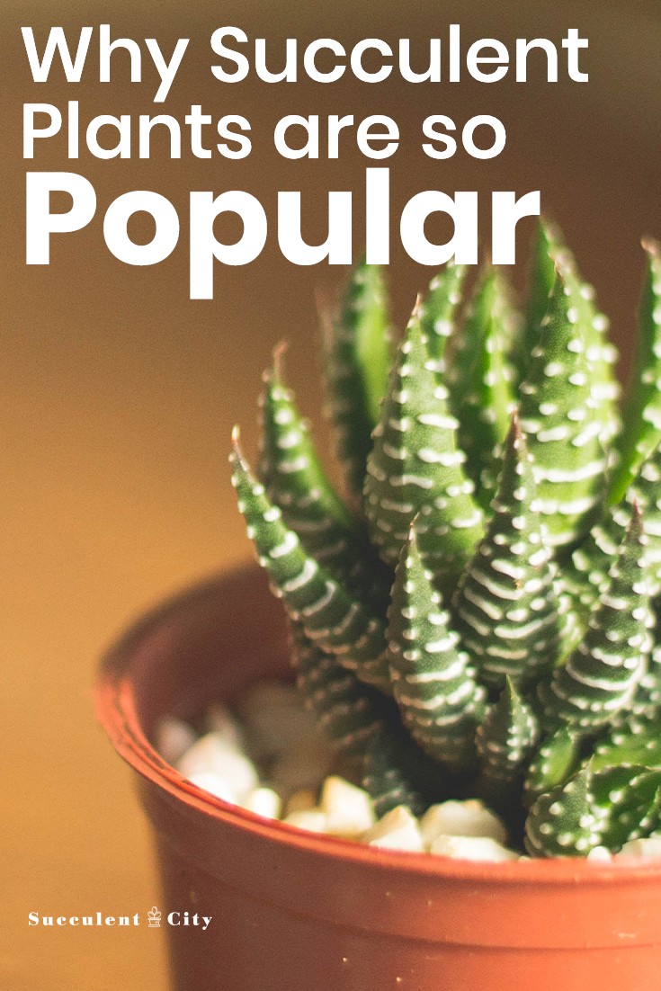 Why Succulent Plants Are So Popular