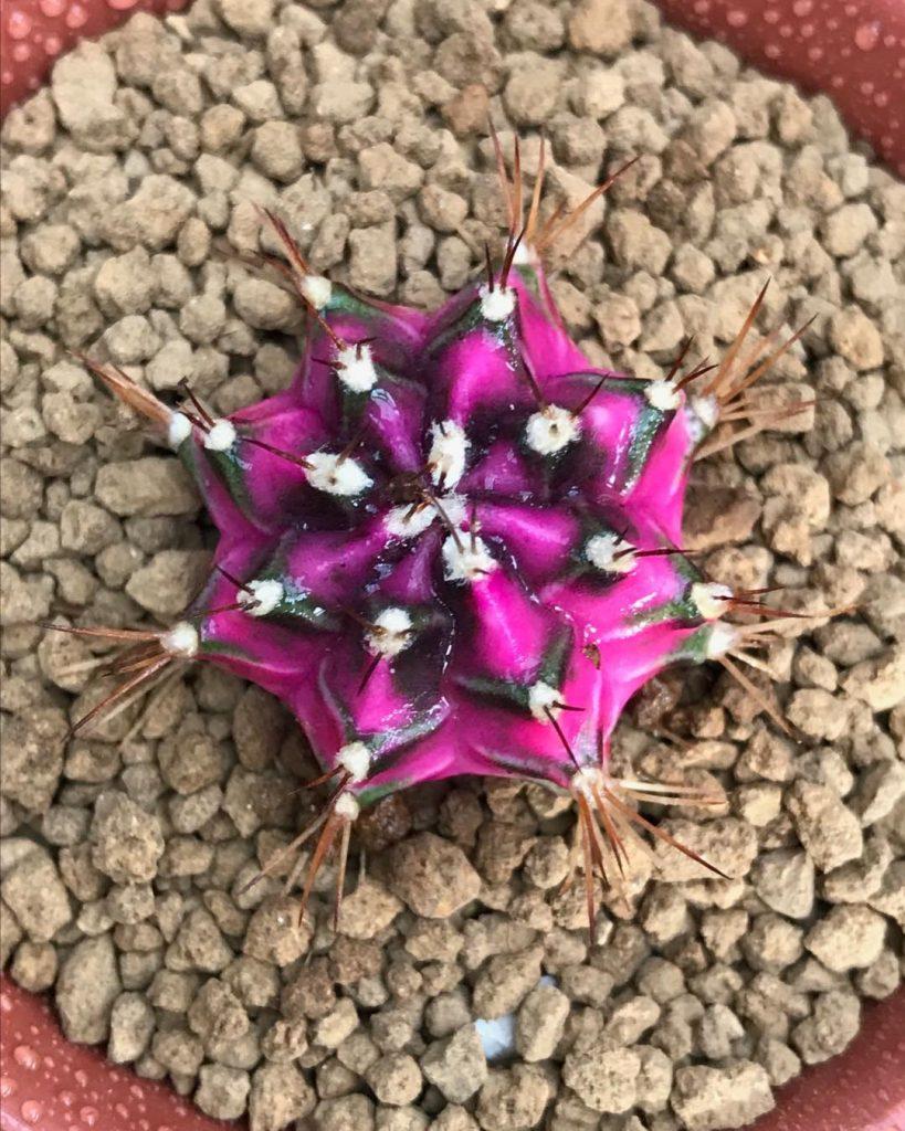 Gymnocalycium Mihanovichii Rubi Ball
