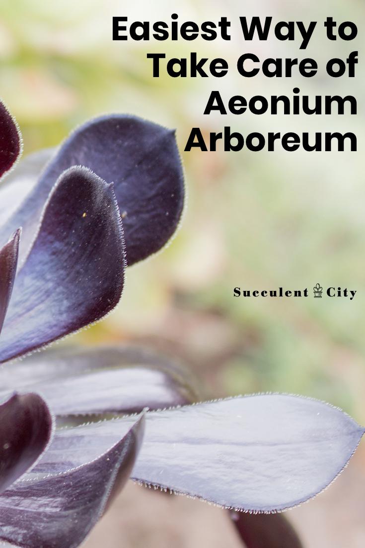 Easiest Way to Take Care of Aeonium Arboreum
