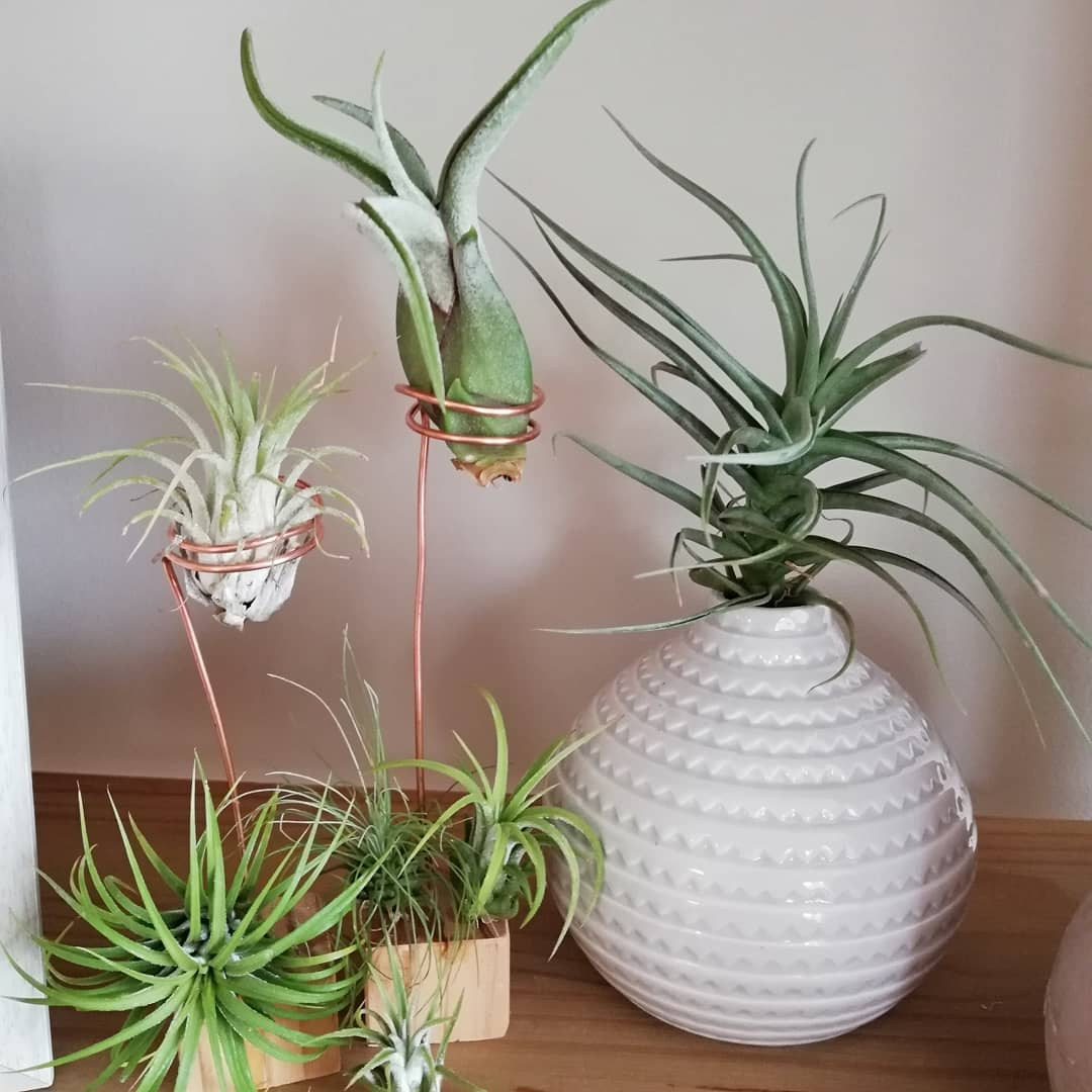 air plant guide