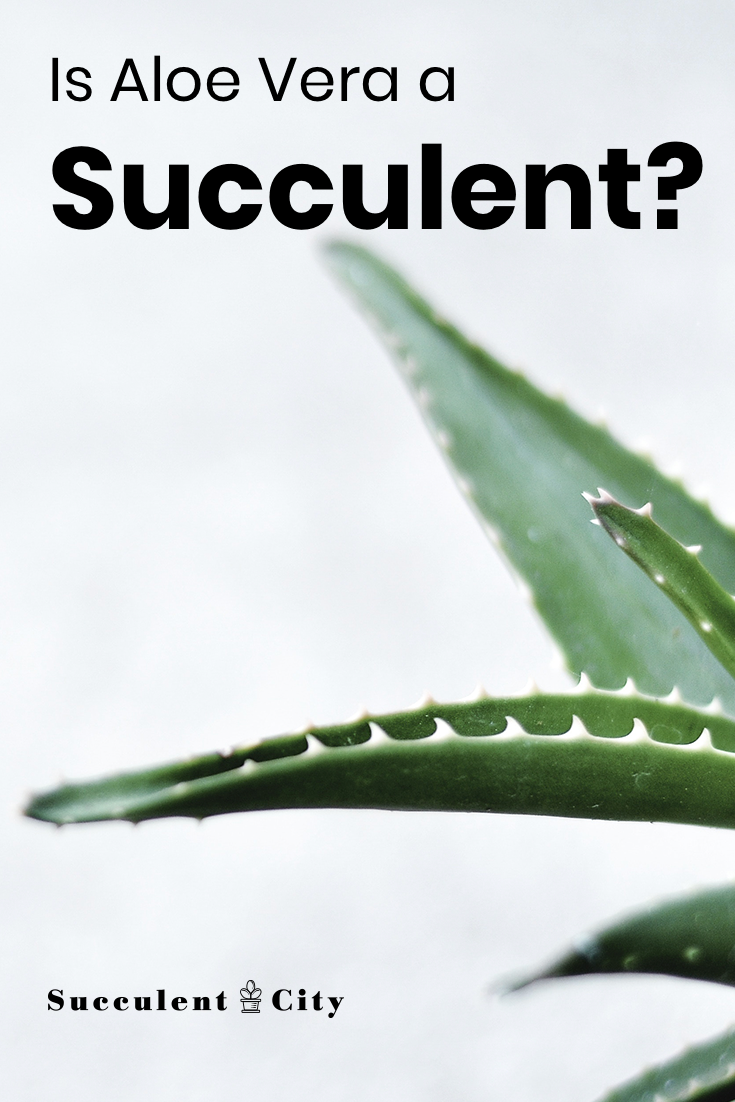 Is Aloe Vera a Succulent? (Beginners Guide)