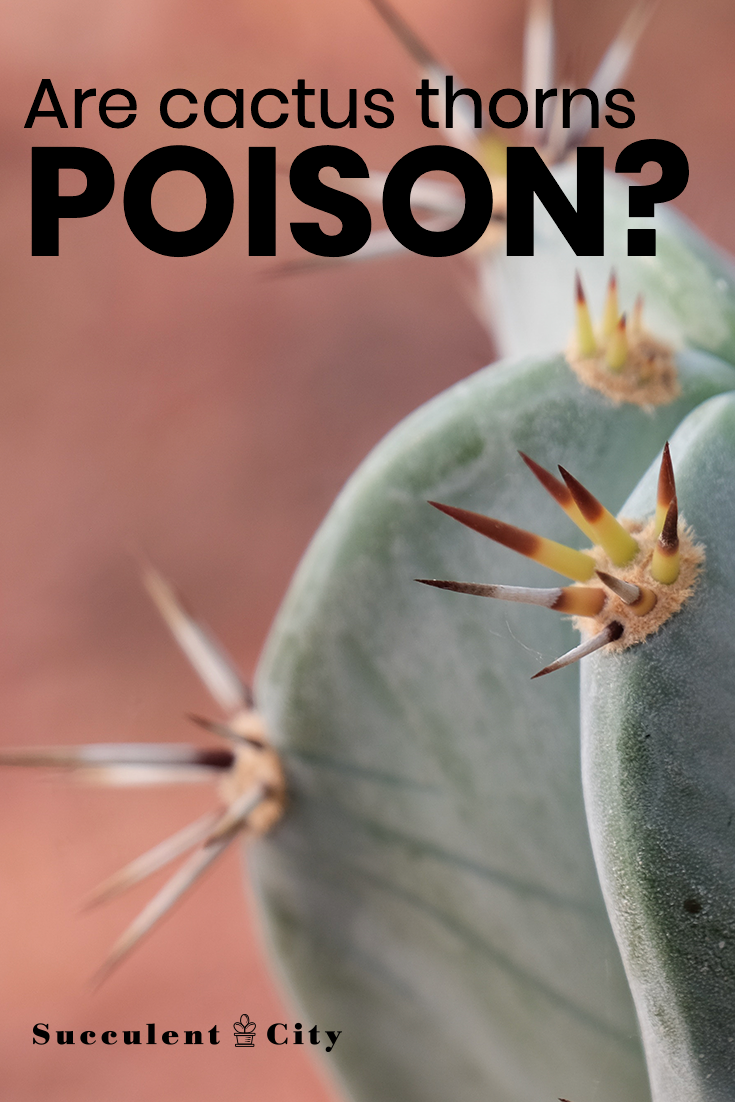 Are Cactus Thorns Poisonous if they Prick Your Skin?