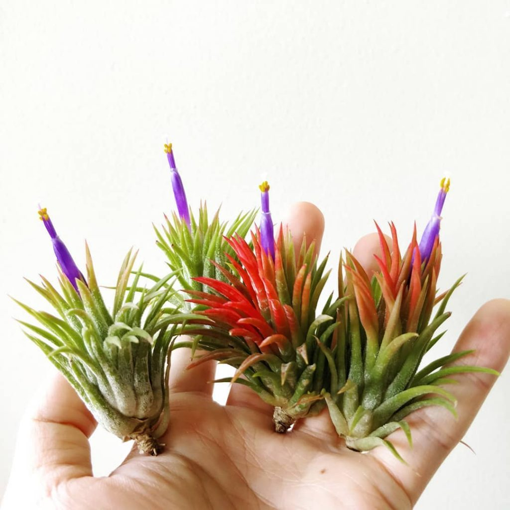where to buy airplants