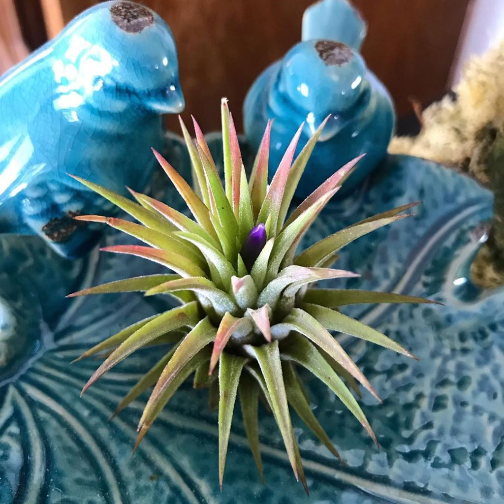 where to buy air plants