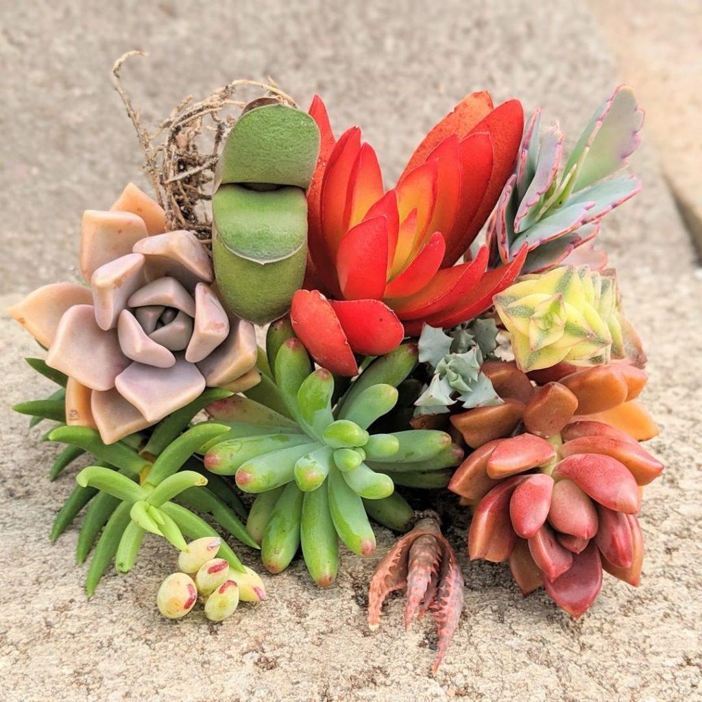 Hard vs soft succulents