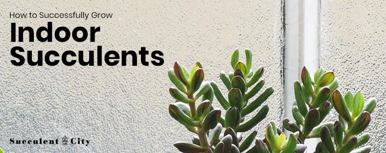 How to Grow Indoor Succulents
