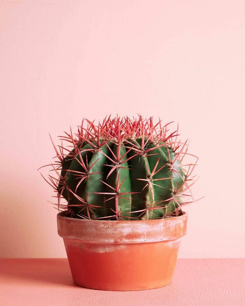 Are Cactus Thorns Poisonous?