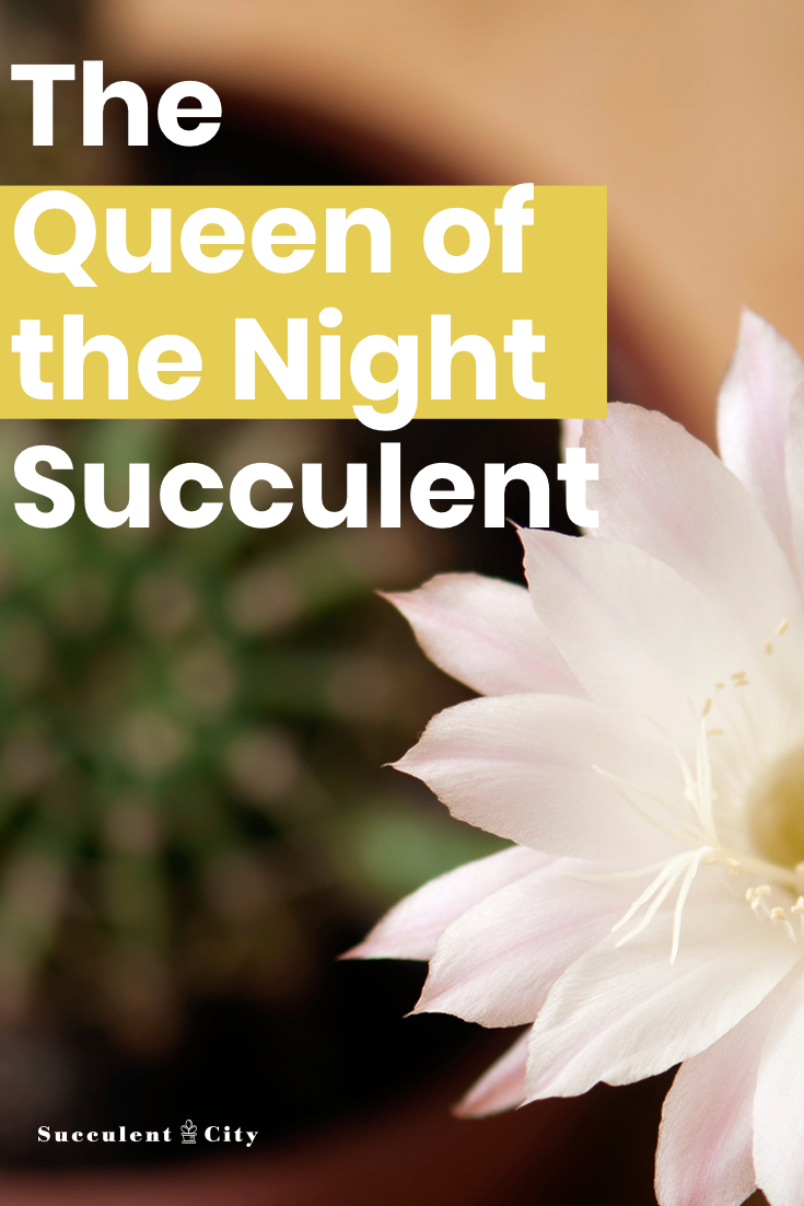 Who is the Queen of the Night Succulent?