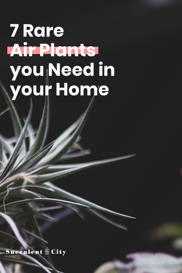 7 Rare Air Plants You Need in Your Home