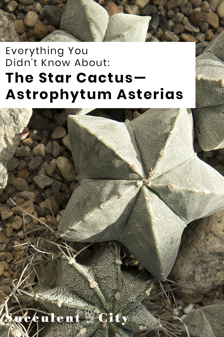 Everything You Didn't Know About the Star Cactus—Astrophytum Asterias