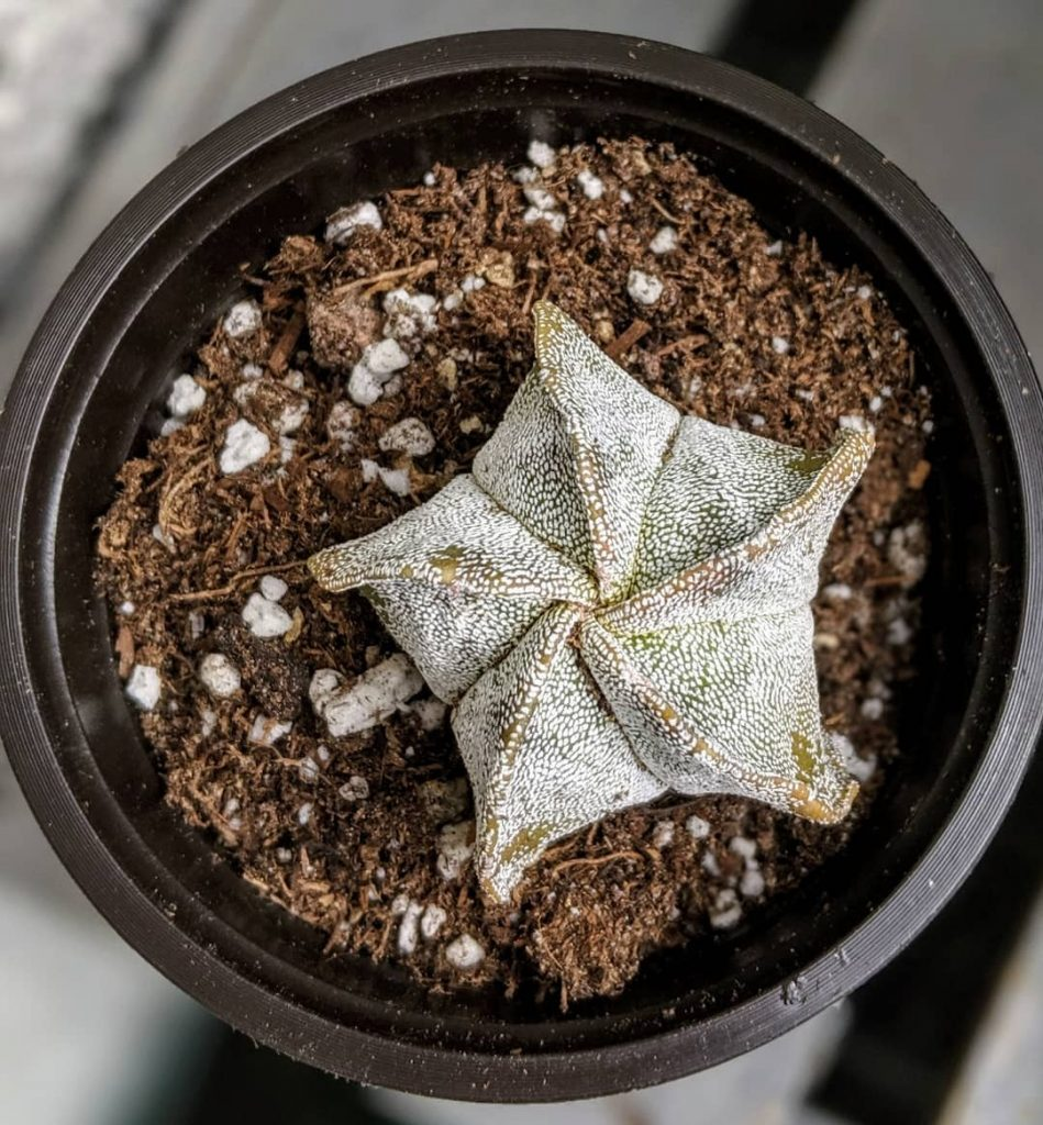 the star cactus