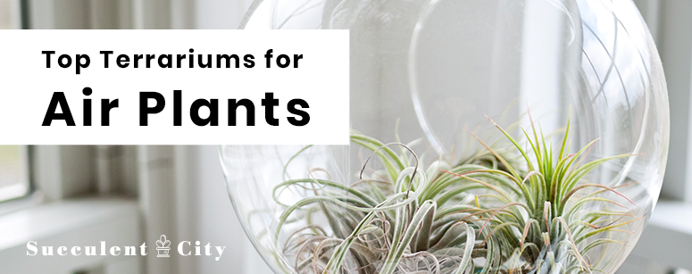 To Terrariums for Your Air Plants
