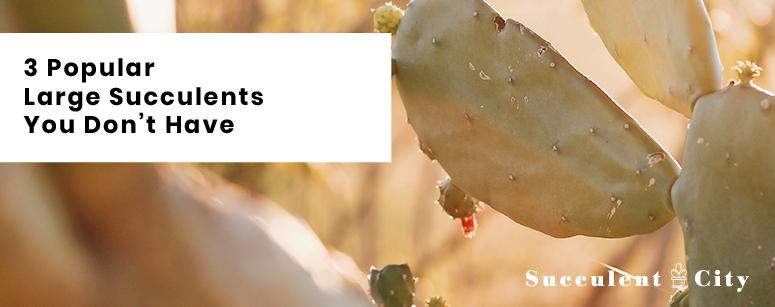 3 Popular Large Succulents