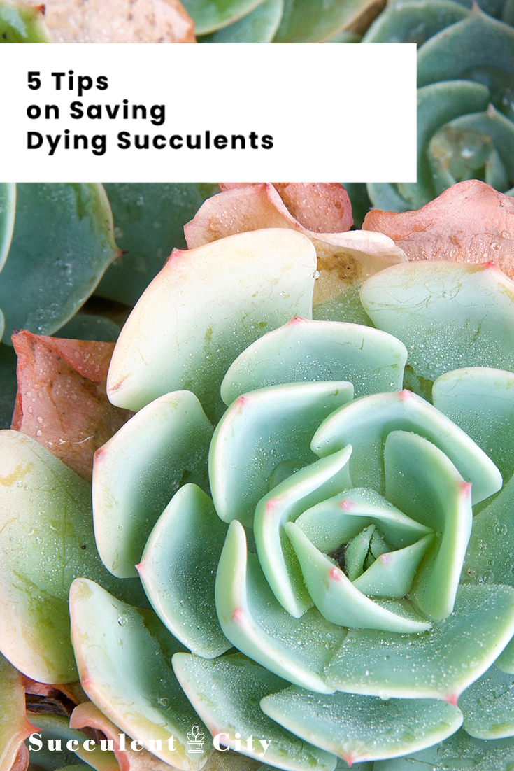 5 Amazing Tips on Saving Dying Succulents