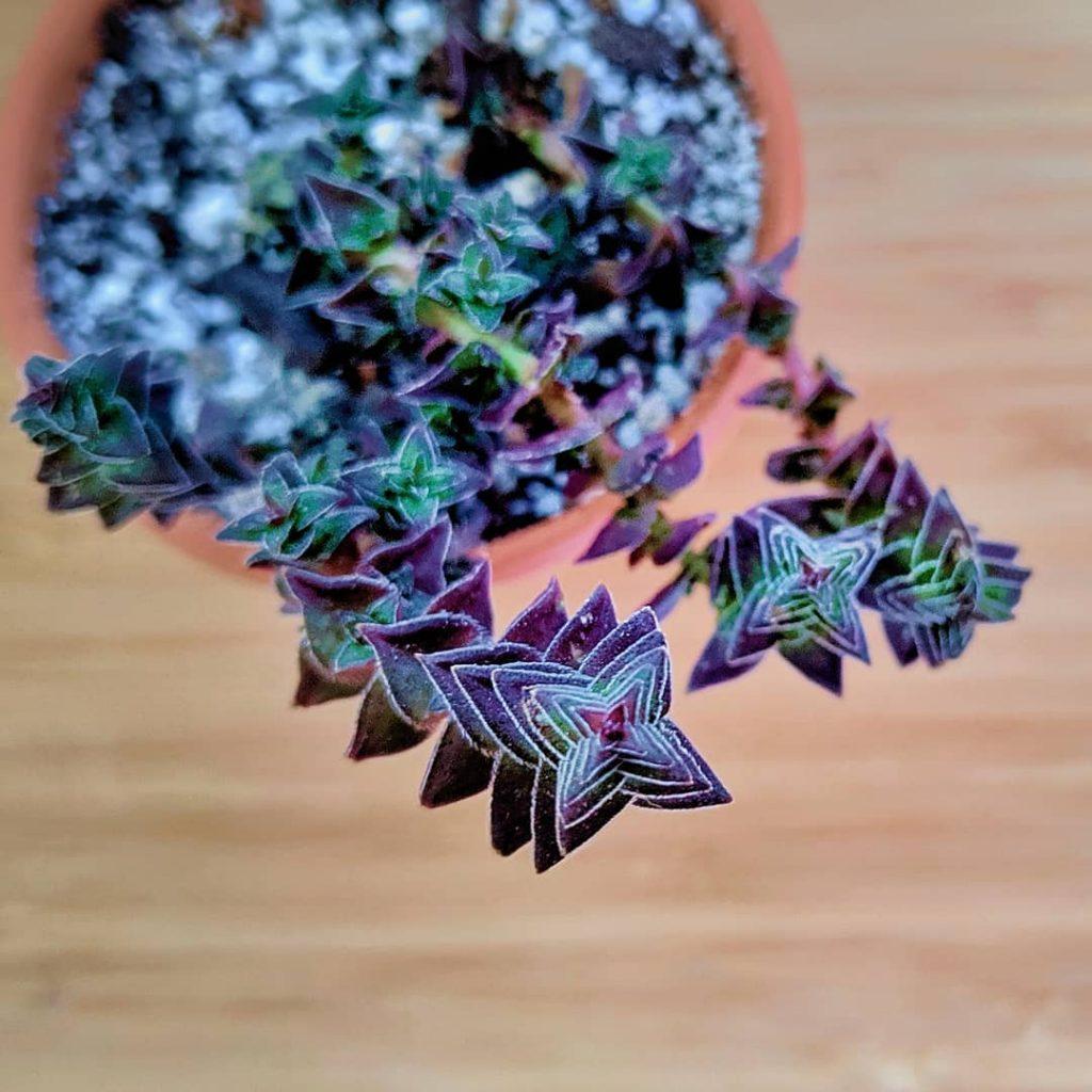 The Stunning Crassula Capitella Succulent
