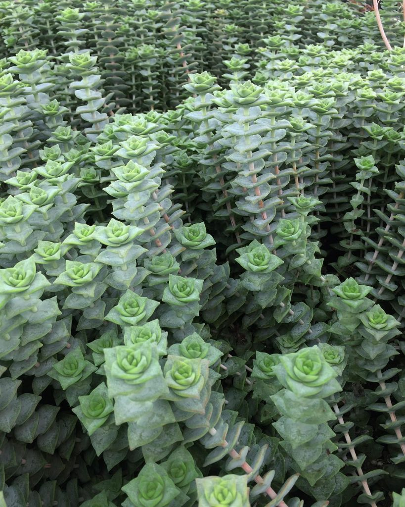 Crassula Perforata – String of buttons